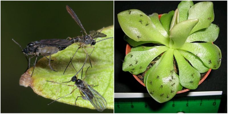 Sivrisinek alanının tedavisi - bahçıvanlar için ipuçları